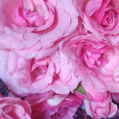 rosesbio