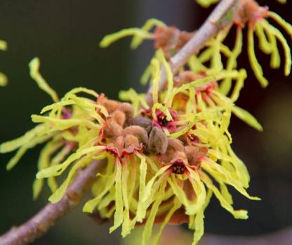 fleur-hamamelis-hydrolat-mellune